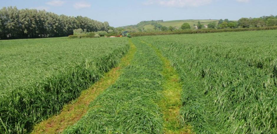 how to get rid of italian ryegrass