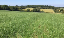 Blackgrass loses to ryegrass